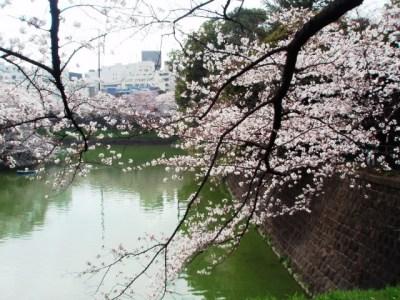 千鳥が淵の桜1